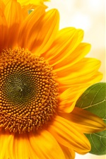 Preview iPhone wallpaper Sunflowers, yellow petals, orange background
