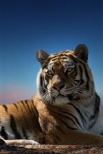 Tiger look back, predator