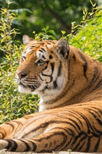 Preview iPhone wallpaper Tiger stay and rest, predator, summer
