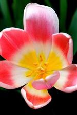 미리보기 iPhone 배경 화면 튤립 매크로 촬영, 핑크 꽃 꽃잎