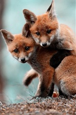 Preview iPhone wallpaper Two cute little foxes