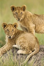 Two lion cubs, grass