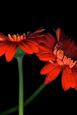 Preview iPhone wallpaper Two orange gerbera flowers, black background
