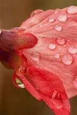 Water drops, spring, pink flowers, twig