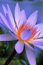Preview iPhone wallpaper Water lily, blue petals, flower close-up