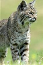 Preview iPhone wallpaper Wild cat, grass, bokeh
