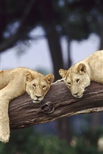Preview iPhone wallpaper Wildlife lions, tree, Africa