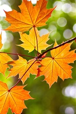 Yellow maple leaves, autumn, bokeh
