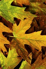 Preview iPhone wallpaper Yellow maple leaves close-up, autumn