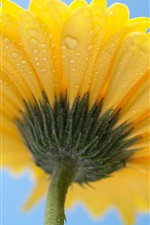 Preview iPhone wallpaper Yellow petals flower, gerbera, back view, dew