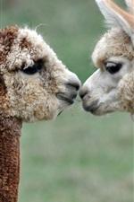Alpacas love kiss