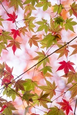 Preview iPhone wallpaper Autumn, twigs, maple leaves, green and red