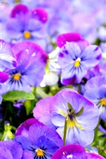 Preview iPhone wallpaper Beautiful pansy, purple flowers