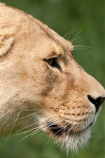 Preview iPhone wallpaper Big cat, lioness, face
