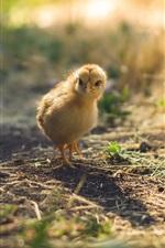 Pássaro, galinha, chão, sol, raios