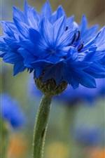 Preview iPhone wallpaper Blue cornflower flower