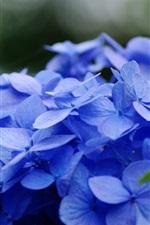 Preview iPhone wallpaper Blue hydrangea flowers