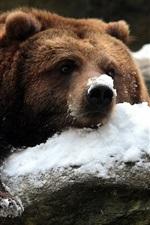 Brown bear in winter, snow