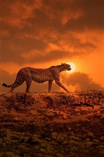 Preview iPhone wallpaper Cheetah walking at sunset
