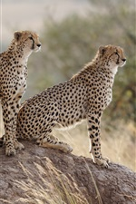 Preview iPhone wallpaper Cheetahs family, stone, grass