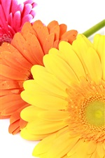 Preview iPhone wallpaper Colorful gerbera flowers, white background
