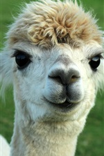 Preview iPhone wallpaper Cute animal alpaca
