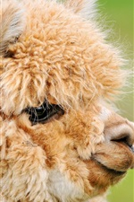 Preview iPhone wallpaper Cute brown alpaca, head, face