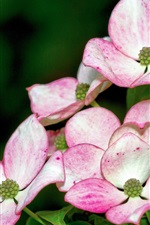 Dogwood beautiful flowers