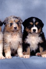 Preview iPhone wallpaper Five small shepherd dogs, furry puppies