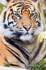 Preview iPhone wallpaper Forest king, tiger