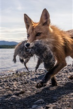 Preview iPhone wallpaper Fox hunting, lake, stones