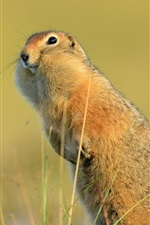 Preview iPhone wallpaper Funny animal, American gopher, tail
