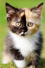 Preview iPhone wallpaper Furry kitten, three colors, grass