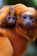 Preview iPhone wallpaper Golden monkey