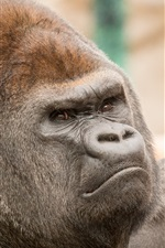 Preview iPhone wallpaper Gorilla head close-up