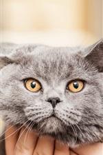 Preview iPhone wallpaper Gray cat look at rings