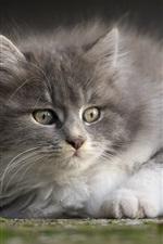 Preview iPhone wallpaper Gray furry kitten look