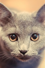 Preview iPhone wallpaper Gray kitty face