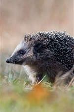 Preview iPhone wallpaper Hedgehog in grass