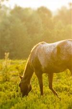 Horse eating grass