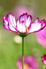 Preview iPhone wallpaper Kosmeya flowers, purple white petals