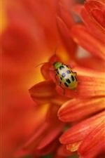 Preview iPhone wallpaper Ladybug on orange flower petals