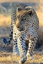 Preview iPhone wallpaper Leopard, Africa, Savannah, predator, wild cat