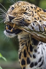 Preview iPhone wallpaper Leopard biting the wood
