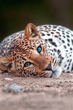 Preview iPhone wallpaper Leopard lying on the ground to rest