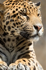 Preview iPhone wallpaper Leopard rest, wooden board