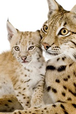Preview iPhone wallpaper Lynx mother and cub, white background