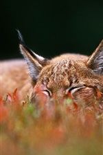 Preview iPhone wallpaper Lynx sleep on grass
