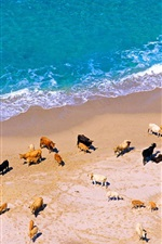 Many cows, beach, sea