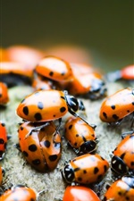 Preview iPhone wallpaper Many ladybugs, orange insect